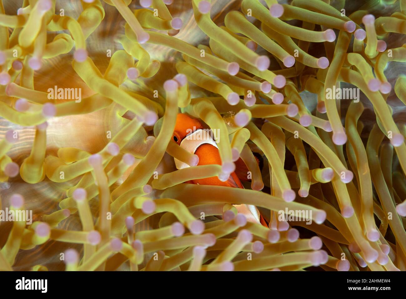Clownfish or anemonefish are fishes from the subfamily Amphiprioninae in the family Pomacentridae Stock Photo