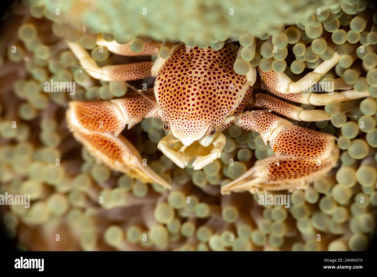 Porcelain crab from the Indo-Pacific region, Neopetrolisthes maculatus Stock Photo