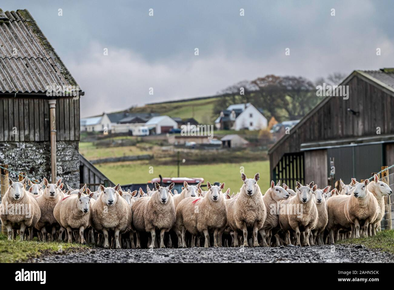 Swinside, Jedburgh, Scottish Borders, UK. 22nd November 2019. Cheviot mule ewes and Blue Faced Leicester tups are shedded off after 17 days in the fie Stock Photo