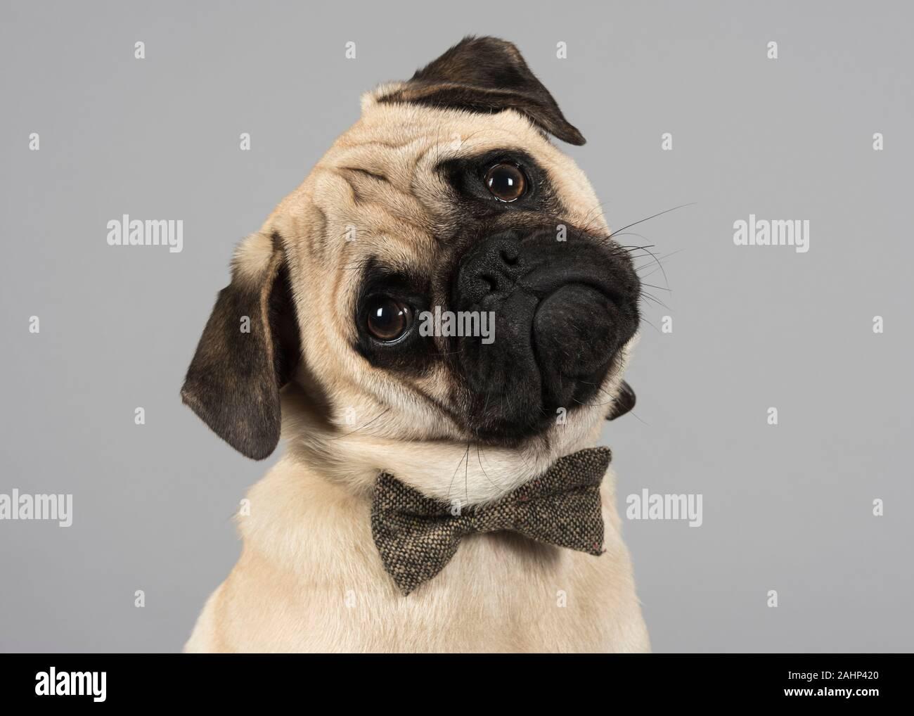 Male, Pug puppy, UK Stock Photo