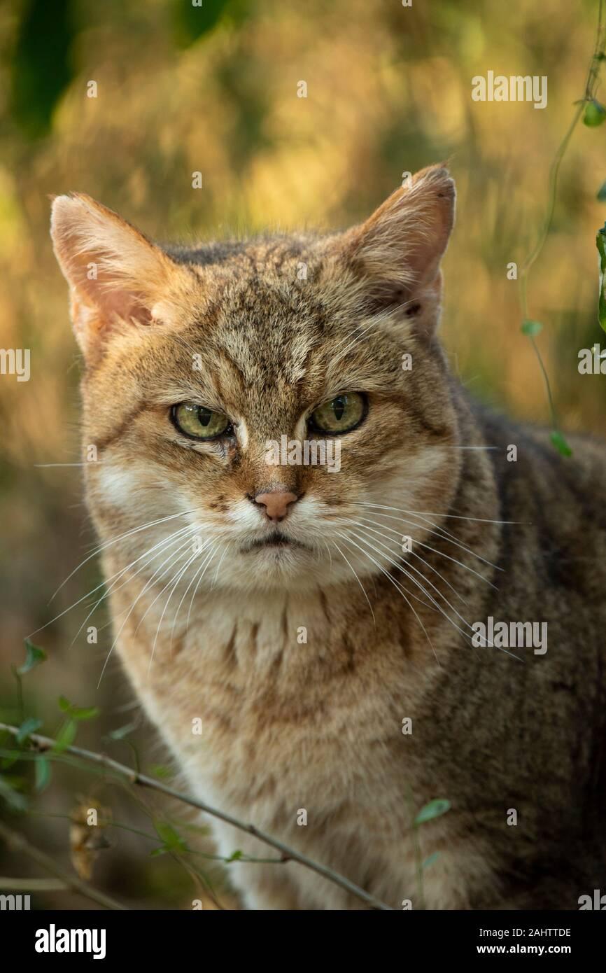 African wildcat, Felis silvestris lybica, Emdoneni, South Africa Stock Photo