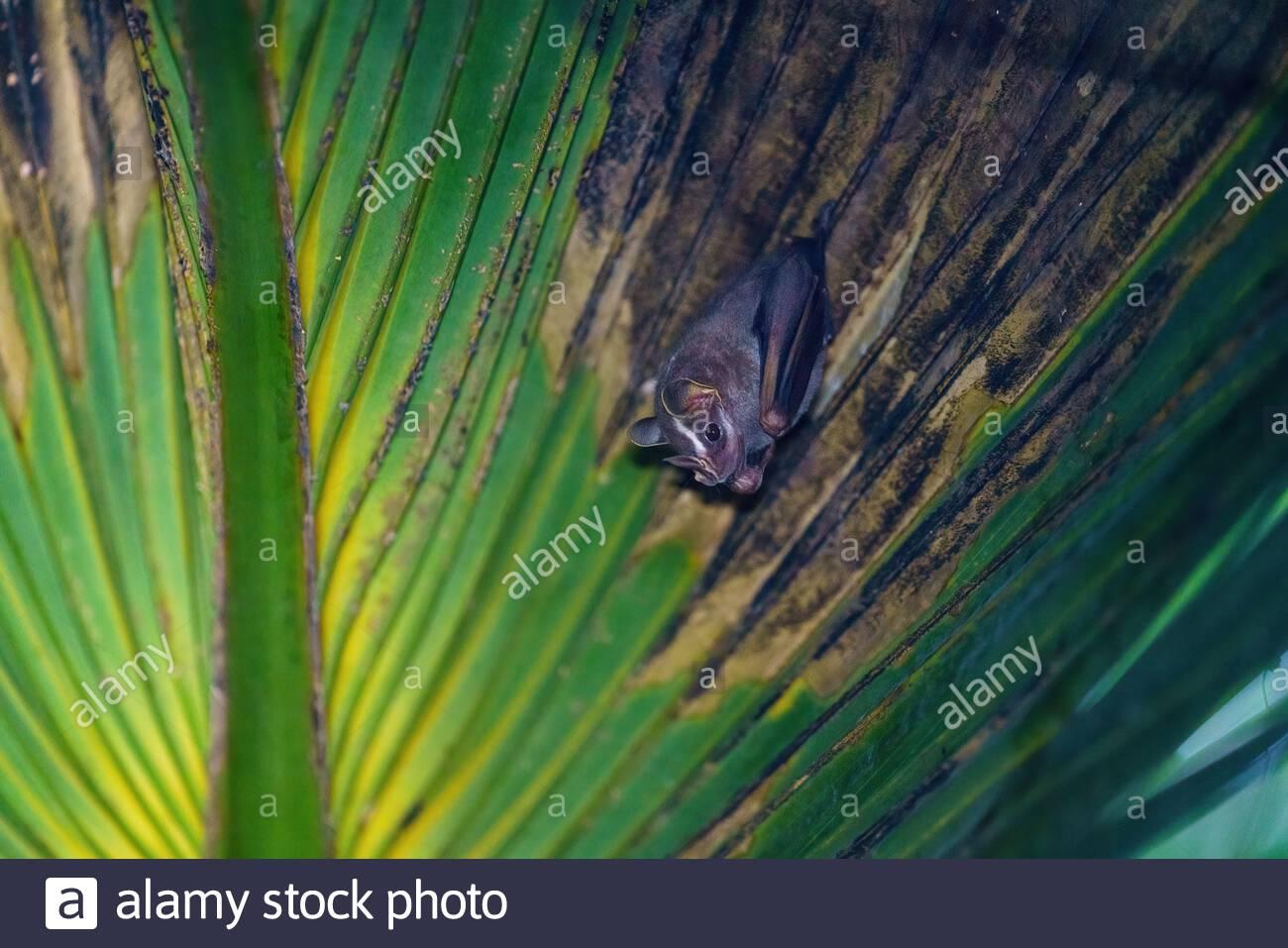 Tent-making Bat (Uroderma bilobatum) roosting in a palm frond, taken in Costa Rica Stock Photo
