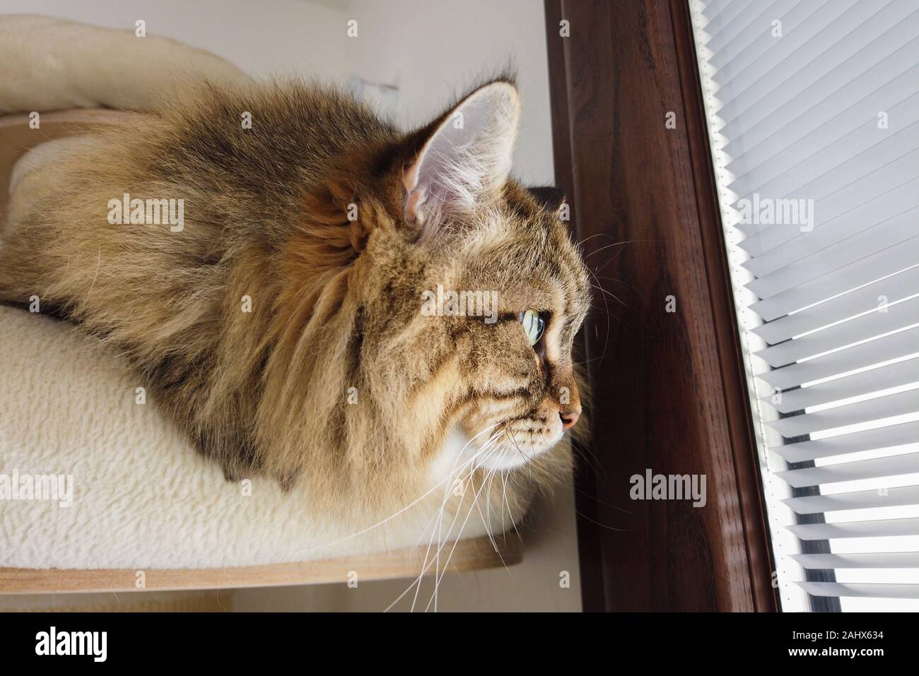 Brown tabby cat of siberian breed with long hair, hypoallergenic animal of livestock Stock Photo