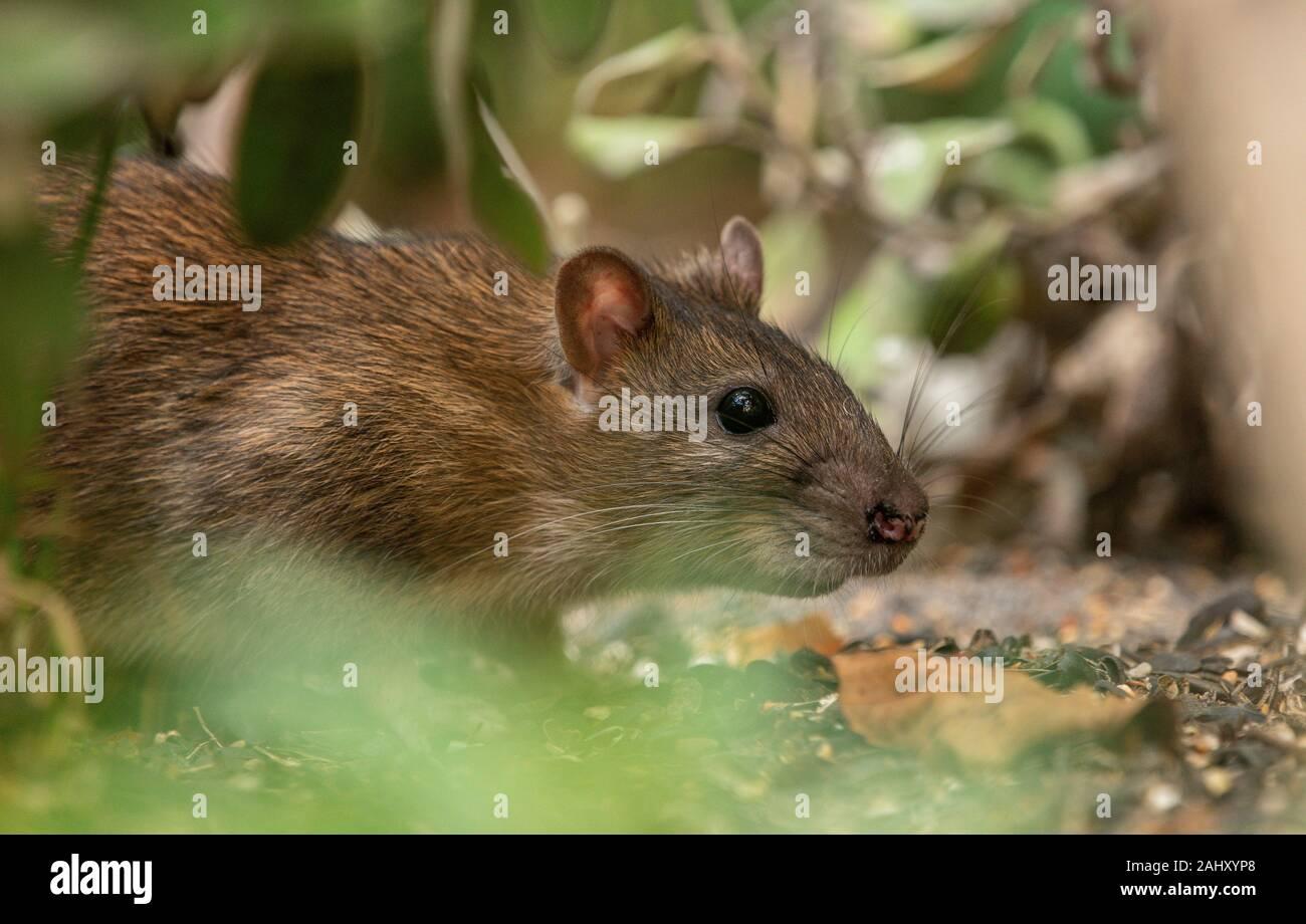 Brown rat, Rattus norvegicus, feeding underneath a garden bird feeder, Dorset. Stock Photo