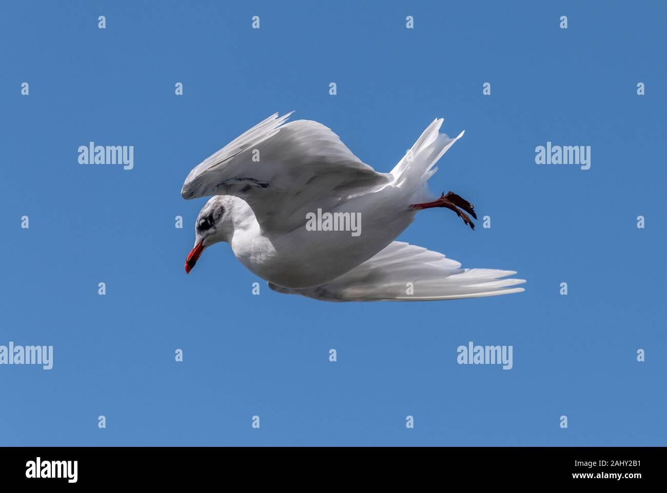 Black-headed Gull, Chroicocephalus ridibundus, in flight, in late summer plumage. Dorset coast. Stock Photo