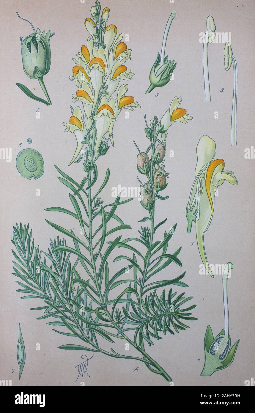 Linaria vulgaris, common toadflax, yellow toadflax, butter-and-eggs, a species of toadflax  /  Echte Leinkraut, Pflanzenart aus der Gattung der Leinkräuter, Linaria, Gemeines Leinkraut, Gewöhnliches Leinkraut, Kleines Löwenmaul, Frauenflachs, Digital improved reproduction of an original print from the 19th century / digitale Reproduktion von einer Originalvorlage aus dem 19. Jahrhundert Stock Photo