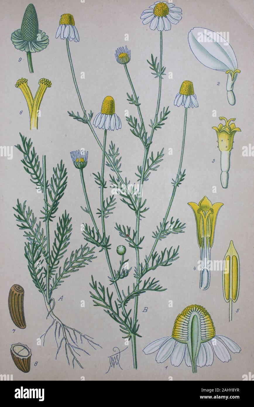 Vintage Botanical Illustration Matricaria Chamomilla German Chamomile Drawing