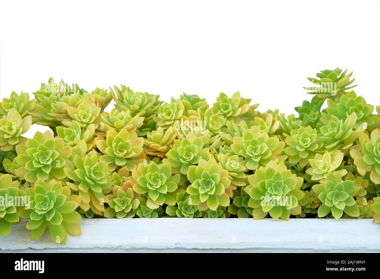 Succulents In Pot Isolated On White Background Aeonium Plants Succulent Plant For Landscape Design Potted Plants For House Green Pattern Stock Photo Alamy