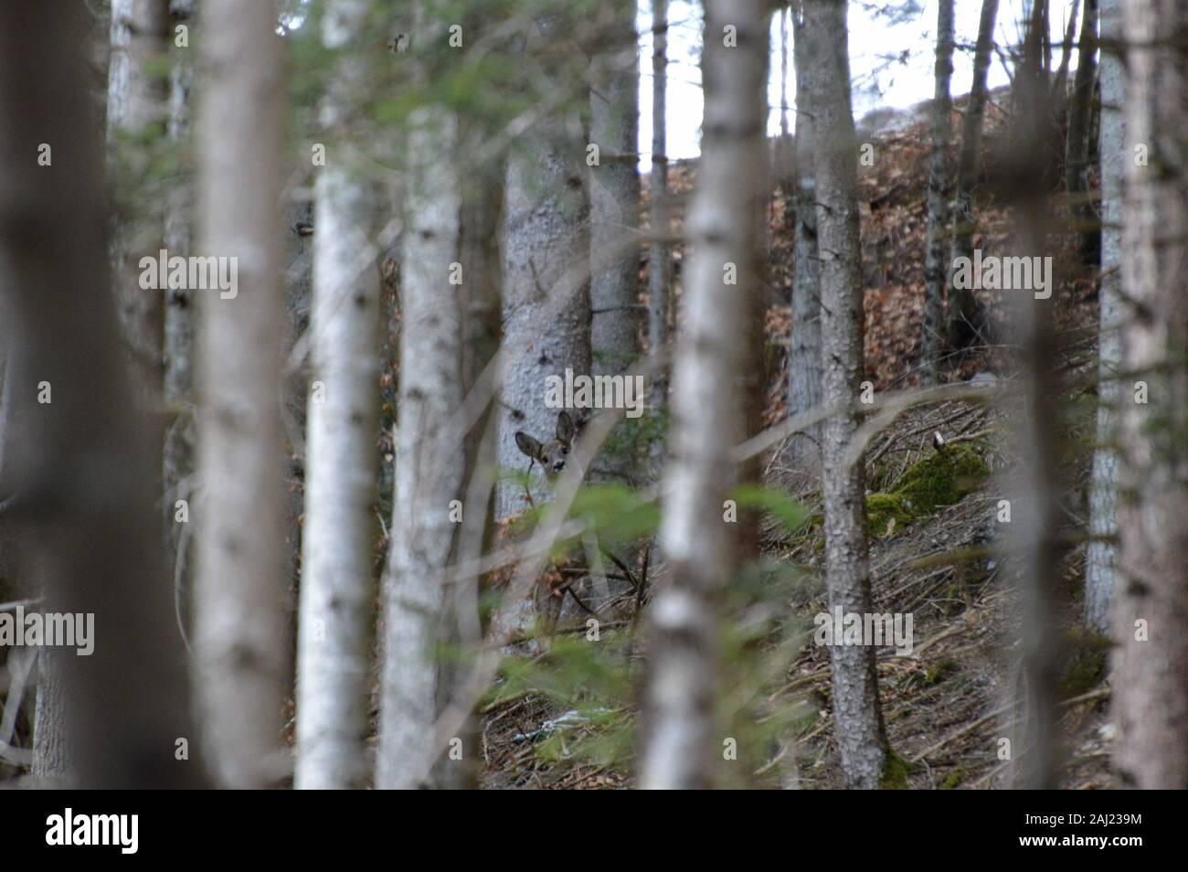 Rehgeiß versteckt im Wald Stock Photo