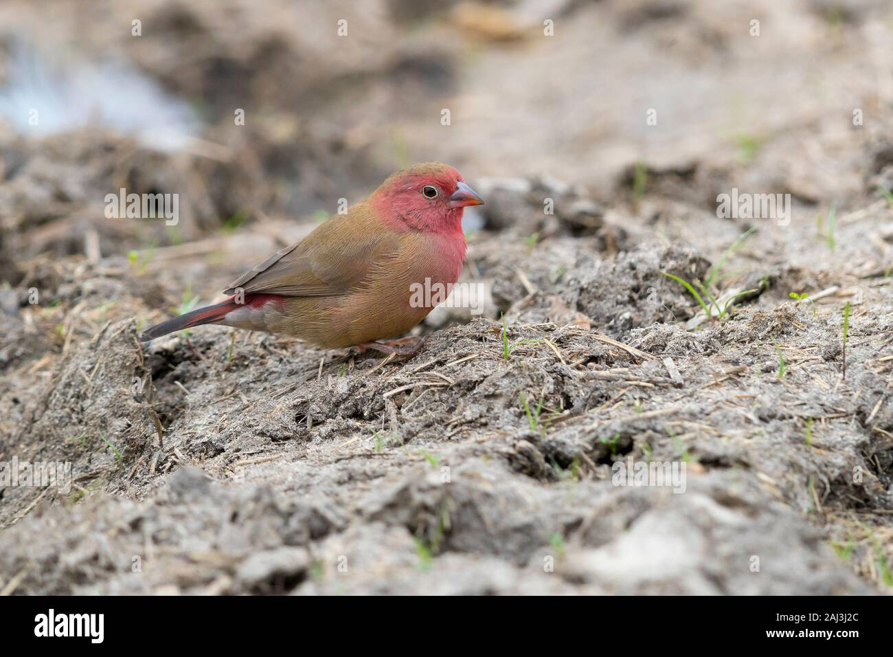 Red-billed Firefinch (Lagonosticta senegala), adult male standing on the ground, Mpumalanga, South Africa Stock Photo
