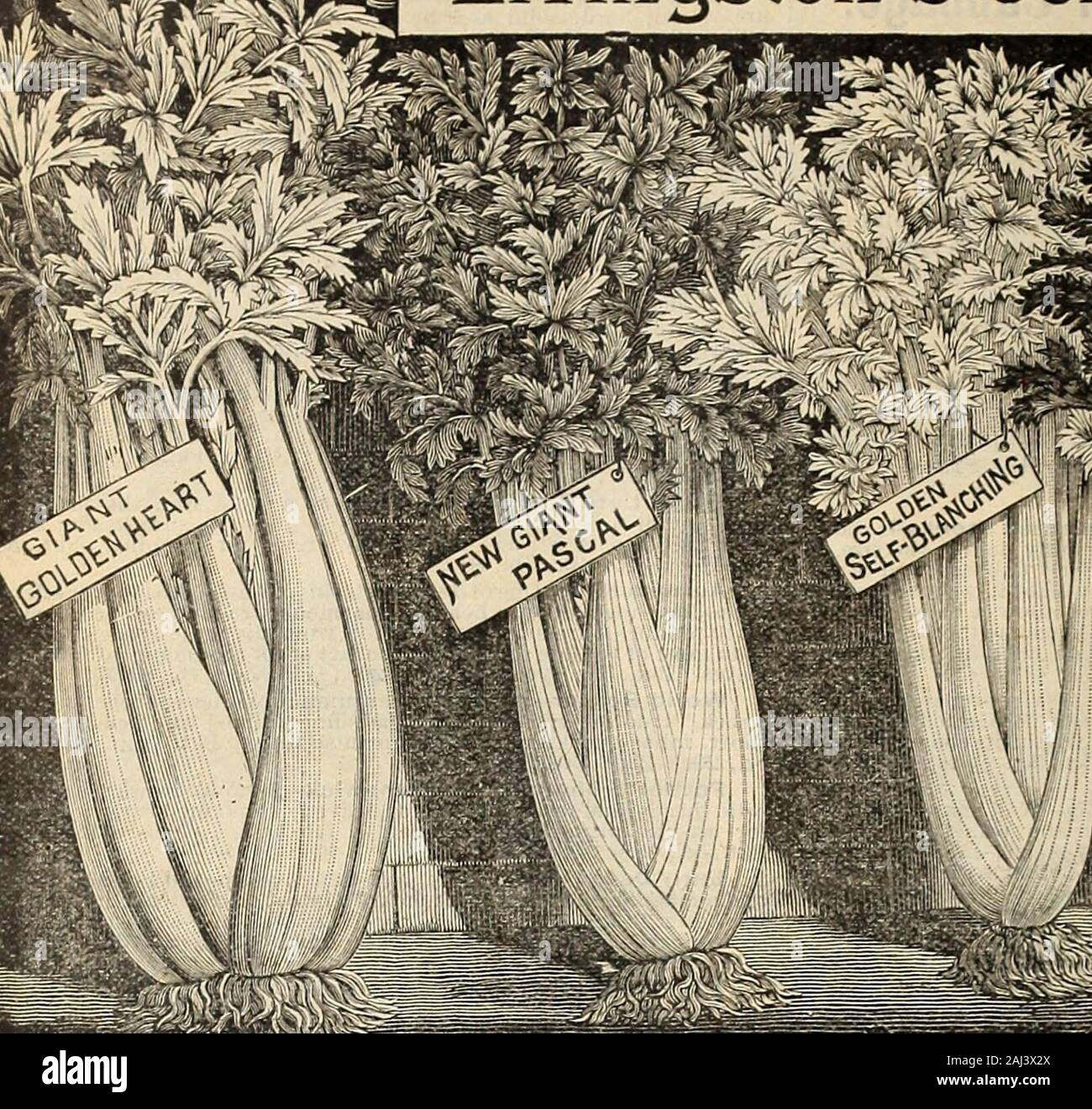 seed annual itl l uk ilckling cabbage 26 a w livingstons sons columbus ohio liivingstons celery seed stock photo alamy alamy