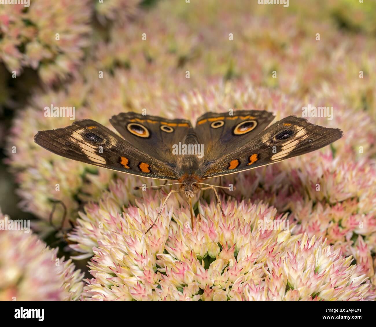 Closeup view of Common Buckeye butterfly feeding on nectar from sedum stonecrops plant in backyard flower garden Stock Photo
