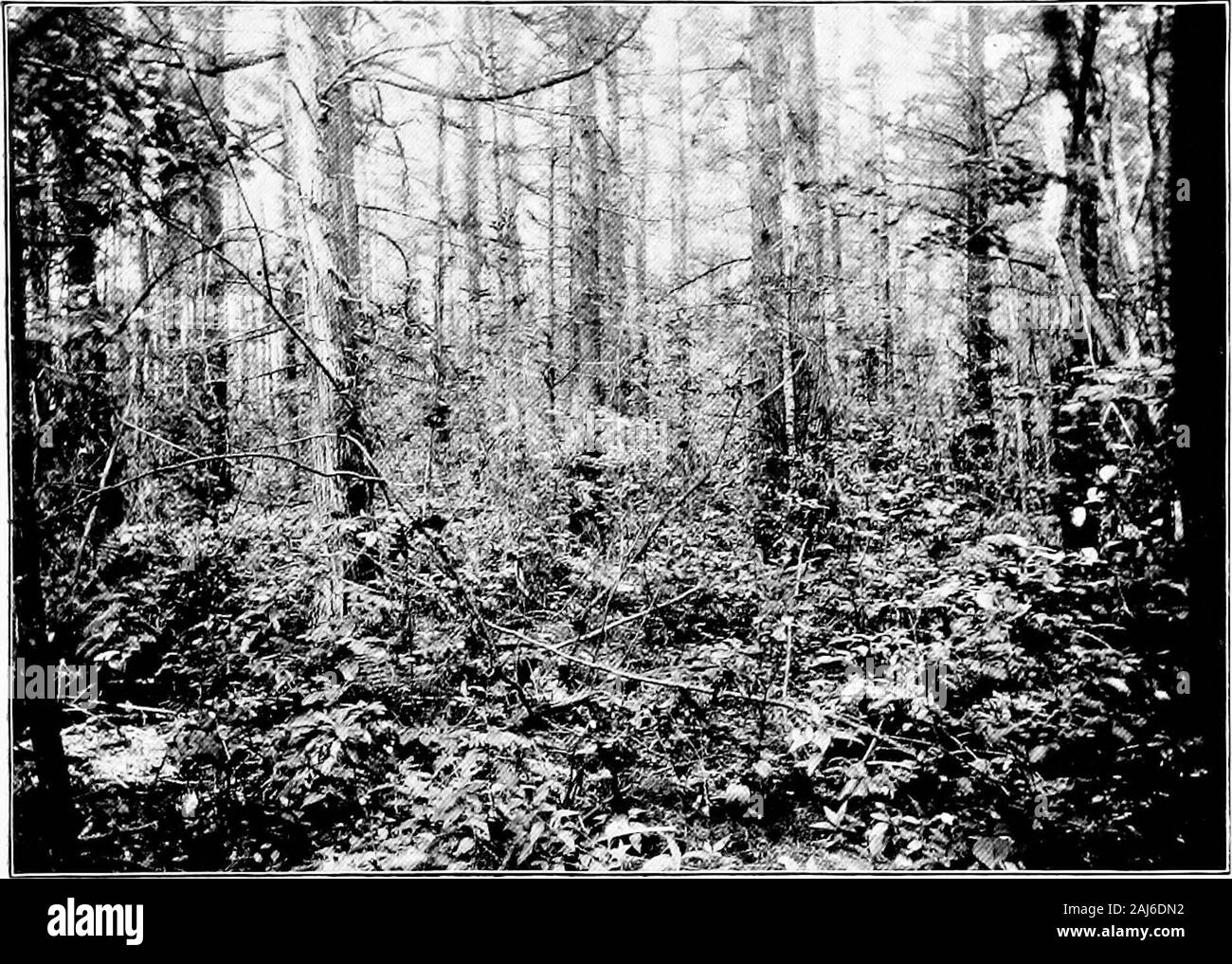The forestal conditions and silvicultural prospects of the coastal plain of New Jersey, with remarks in reference to other regions and kindred subjects . keep it covered with water throughout the winter and for a short time at other seasons of the year,to protect it from frost, to drown out undesirable weeds and insect pests or prevent a fungous disease called scald,* A bog may be flooded at any time without Injury to the vines, except when in.blossom Inclearing a bog the slumps are usually removed, but not always. The whole is turfed with a cranberry orboghoe, which has a wider blade than the Stock Photo