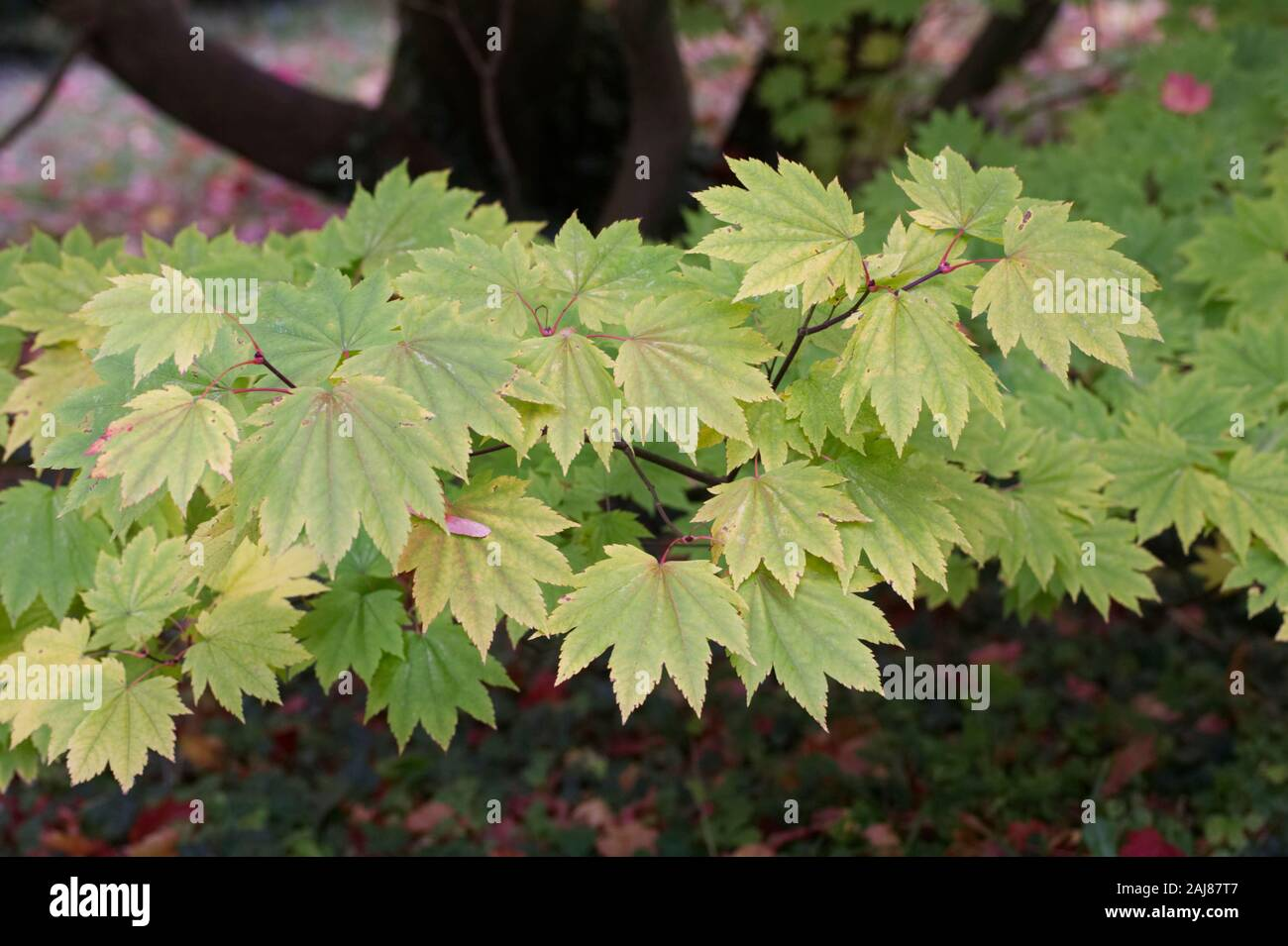 Acer japonicum 'Full Moon Magic' leaves in Autumn. Stock Photo