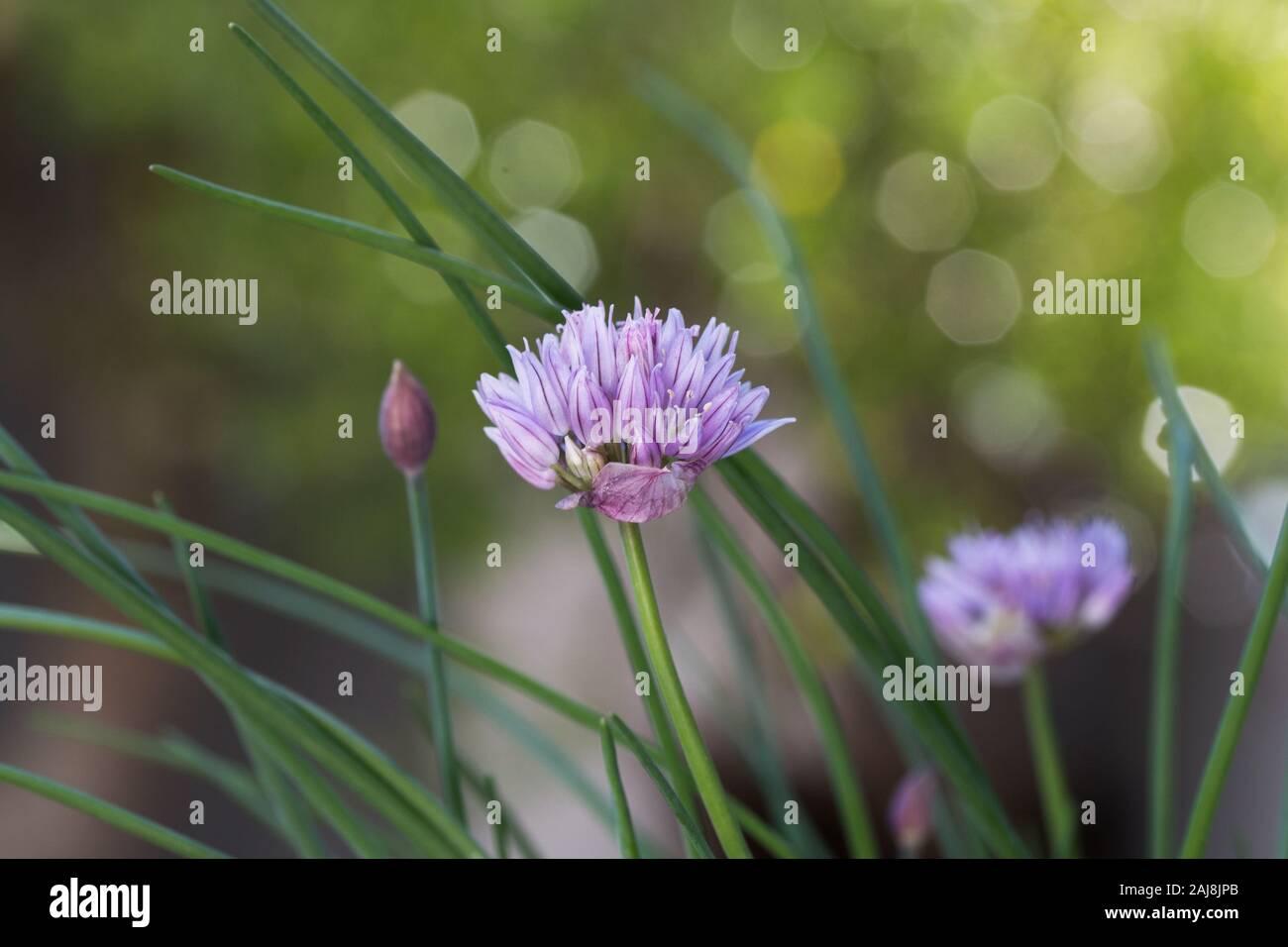 Chives (Allium schoenoprasum) plant in bloom close up. Stock Photo