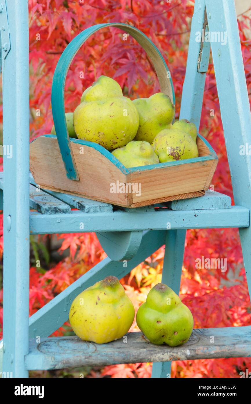 Cydonia oblonga 'Vranja'. Quince 'Vranja', a fragrant, pear shaped fruit in a trug on a ladder in an early autumn garden. UK Stock Photo