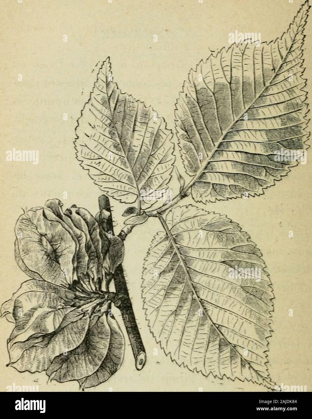 Éléments de sylviculture . ui sont frais et profonds. Comme le chêne, à côté duquelon le rencontre souvent, il saccommode assez bien desterrains argileux. Le charme repousse bien de souche ; aussi est-il habi-tuellement exploité en taillis. Comme sa croissance estlente, les révolutions adoptées pour les taillis de cetteessence sont dau moins dix-huit à vingt ans ; traité enfutaie, en mélange avec le chêne et le hêtre, le charmeest considéré comme une essence secondaire destinée àfavoriser la croissance des arbres plus précieux auxquelson lassocie. Il supporte bien le couvert. Les jeunes plants Stock Photo