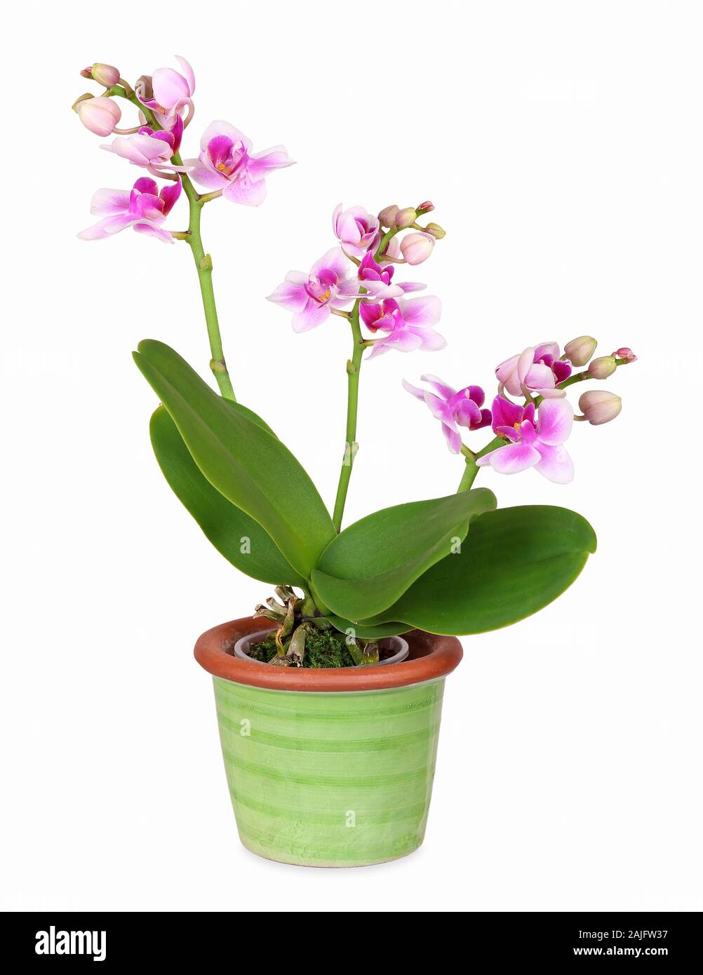 Mini Orchid In Green Ceramic Pot Isolated Stock Photo 338409771