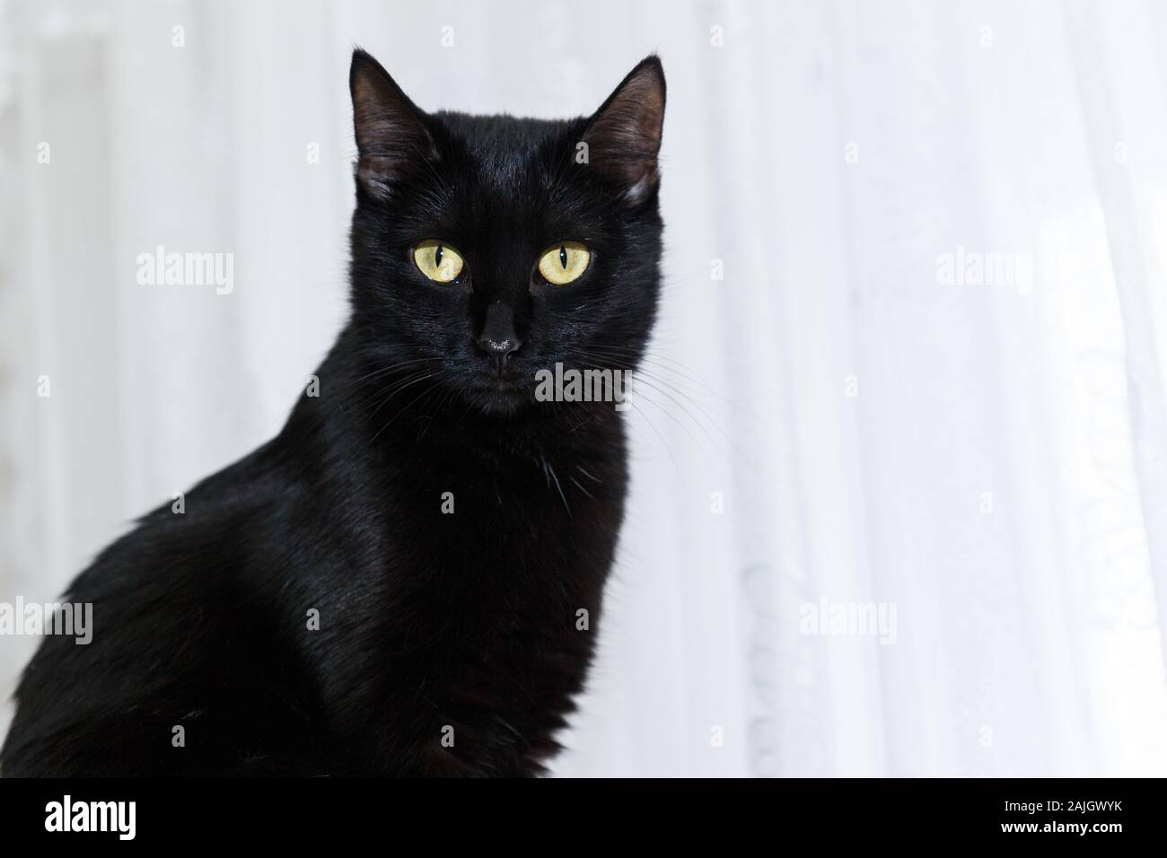 portrait of a black domestic cat on a white background with light eyes. Close-up portrait of a black cat. Stock Photo