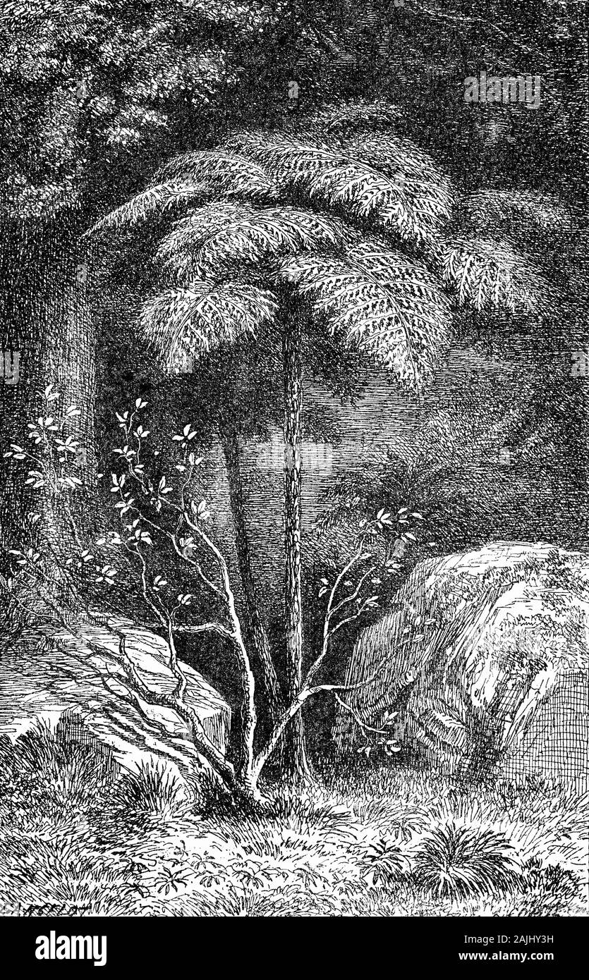 """Plants: Arborescent ferns of New Zealand forests. The  rough tree fern (Dicksonia squarros) has a slender black trunk that is usually surrounded by many dead brown fronds. This species has a fast growth rate  and produces few fronds, all of which sprout horizontally. Long, they're quite crisp to touch and form a small """"umbrella"""" on top of the trunk. They are sometimes found sprouting from apparently dead pieces of trunk and another feature is the spreading underground rhizomes which can create dense groves, making it one of the most common tree ferns in New Zealand forests. Stock Photo"""
