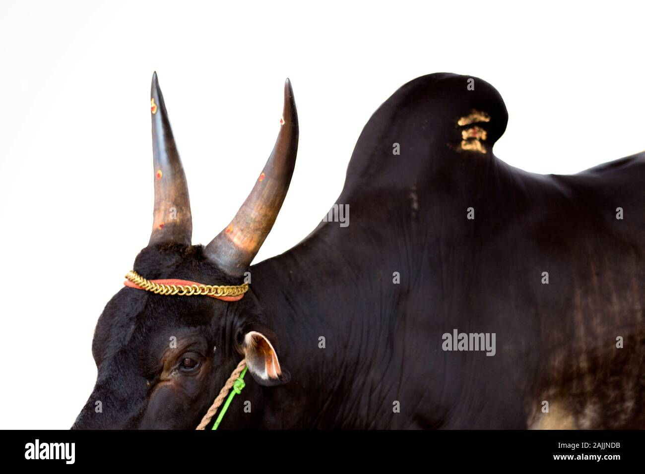 jallikattu bull high resolution stock photography and images alamy https www alamy com indian heritage kangayam cattle shot in a white background jallikattu kangayam bull in white background image338472775 html
