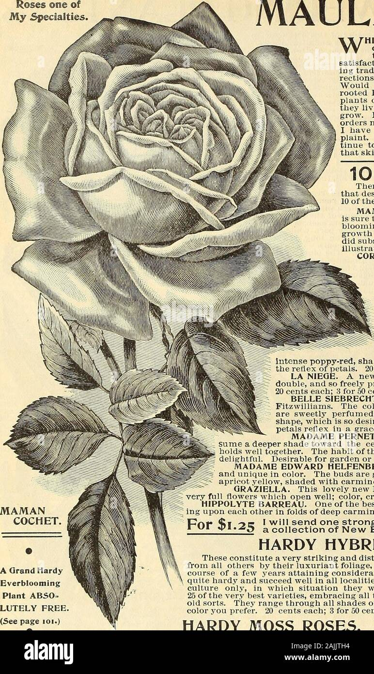 Maule's seed catalogue : 1896 . 20 cts. each; 3 for 50 cts. p?|-v|« 4^1 ym I will send one strong plant each of the lO New Roses named above;1 Kfi «t7i.^^ a collection of New Everblooming Roses without an equal. HARDY HYBRID PERPETUAL ROSES. These constitute a very striking and distinct family of Roses, the members of which are distinguishedfrom all others by their luxuriant foliage, prodigious blooms and vigor of growth. A bush during thecourse of a few years attaining considerable proportions. The flowers are highly fragrant. They arequite hardy and succeed well in all localities. Owing to t Stock Photo