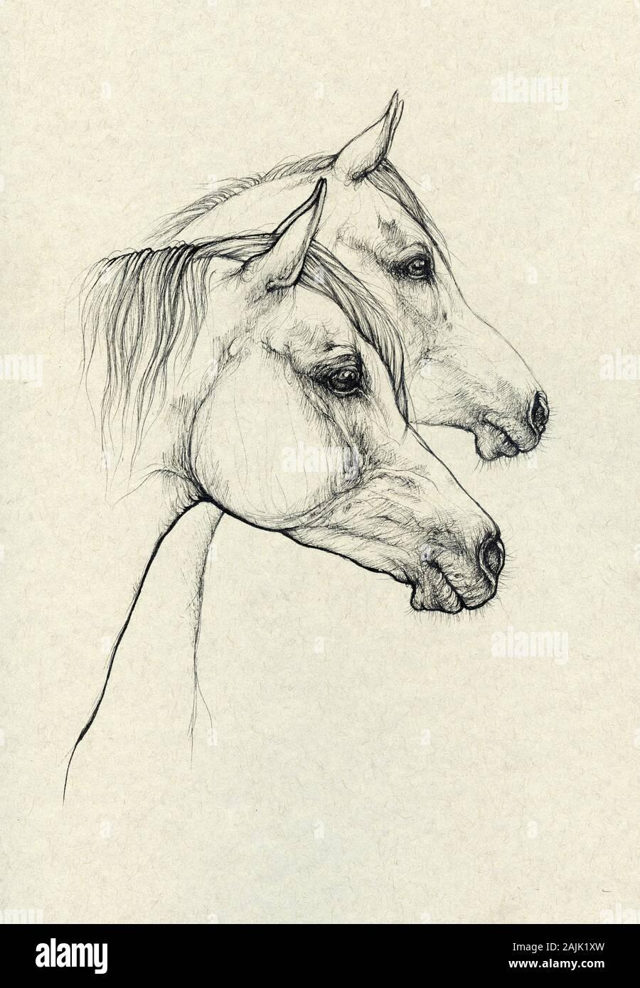 Arabian Horses Stock Photo Alamy