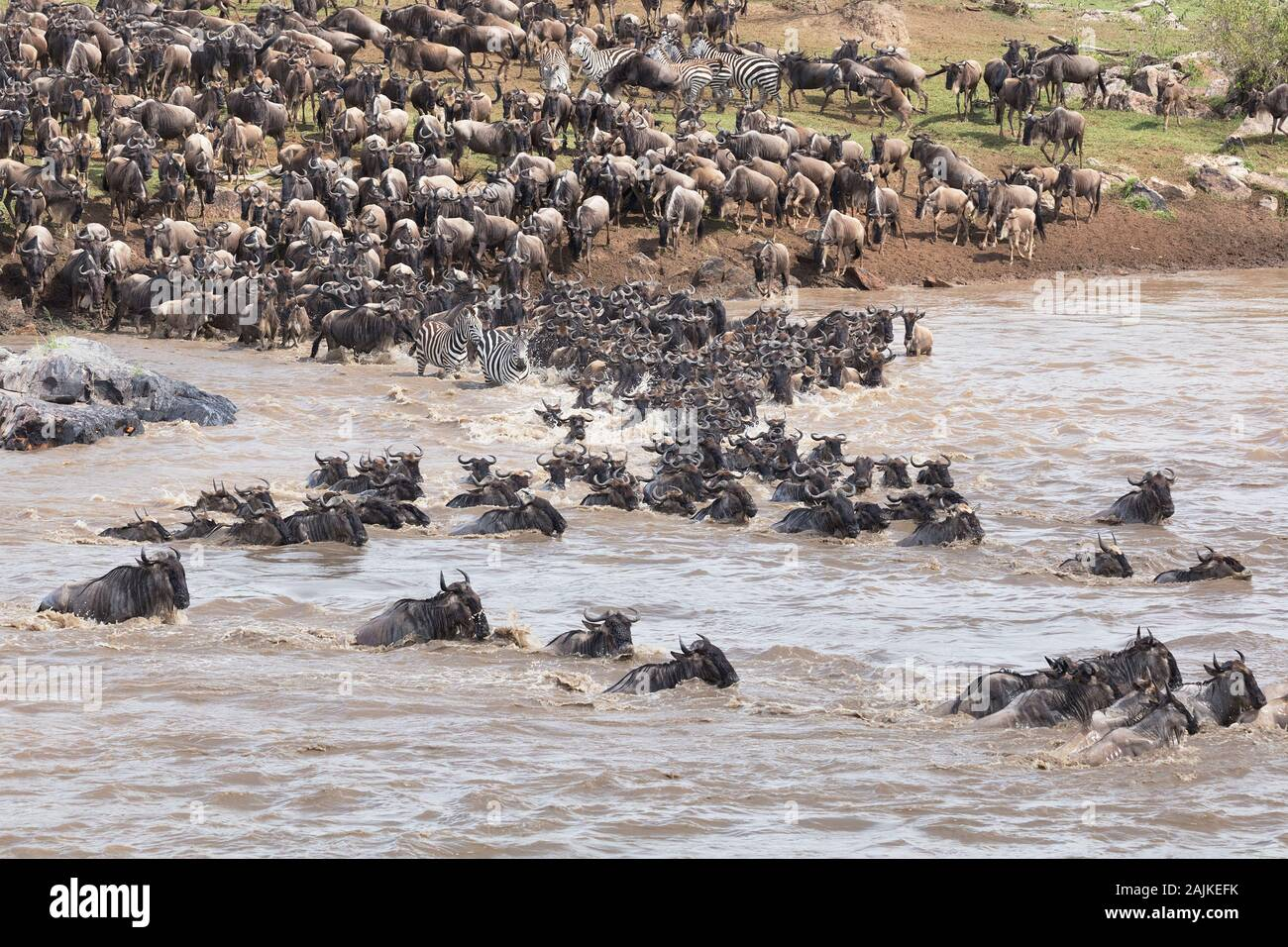 Migrating blue wildebeest and burchell's zebra crossing the Mara River in the north of the Serengeti Stock Photo