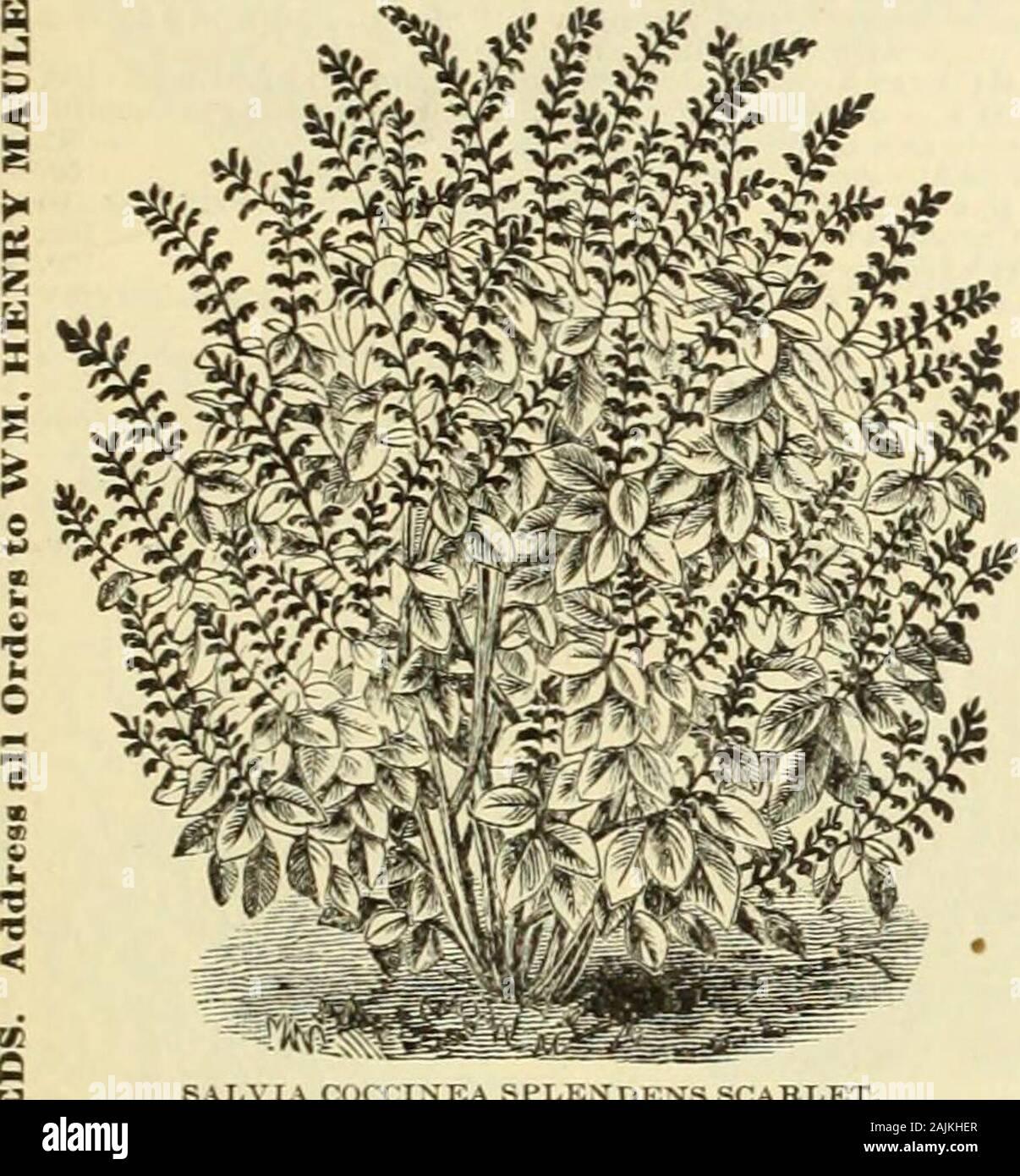 Maule's seed catalogue : 1896 . -Fou. 1 1^^^ ?I l^^s 1 ^^^^S 1 ^^^g t ^^I^Sw aj ^^^^^^m ^^^P^^ ^Sm^KSbM^^ ^^ STC.KKS—GERMAN —IKN W 1 fKS  Stock Photo