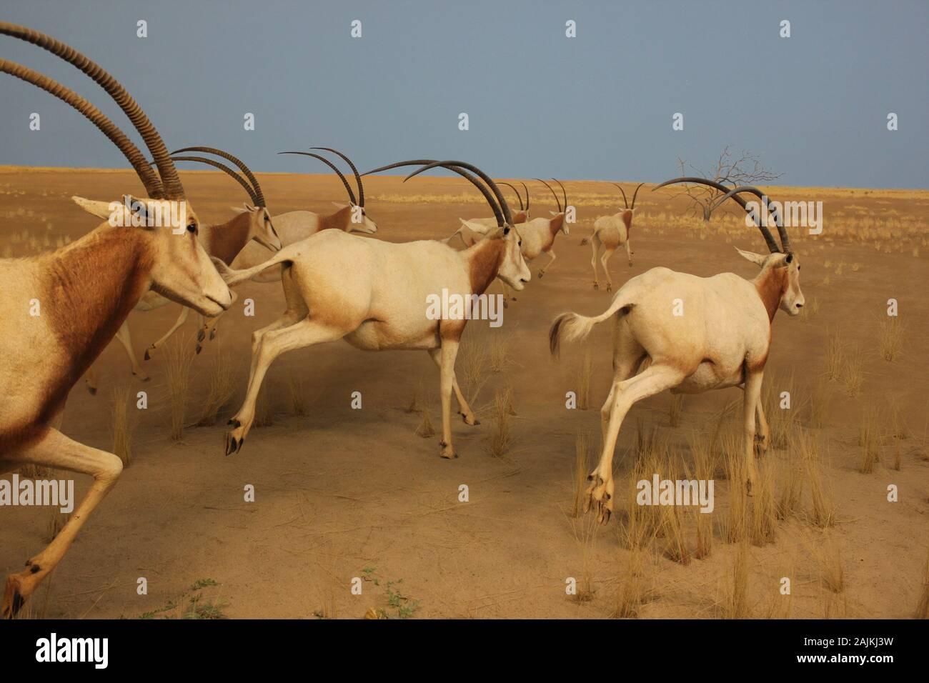 Scimitar oryx,  scimitar-horned oryx, oryx dammah, Sahara oryx the Museum Stock Photo