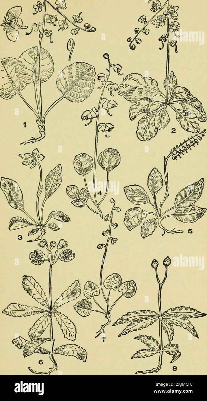 An illustrated guide to the flowering plants of the middle Atlantic and New England states (excepting the grasses and sedges) the descriptive text written in familiar language . to 6-lobed. Corolla egg- or bell-shaped Pterospora Corolla of several parts. Flowers solitary Monotropa Flowers several Hypopitys I. PTEROSPORA, Nutt. A reddish or purple leafless plant, woolly, consisting of a slender scape,from which hang rounded bells or globose fruit, arising from a roundedmass of roots- Calyx 5-parted; corolla with 5 lobes; stamens 10; capsule5-Iobed. P. andromedea, Nutt. (Fig. 5, pi. 118.) Pine D Stock Photo