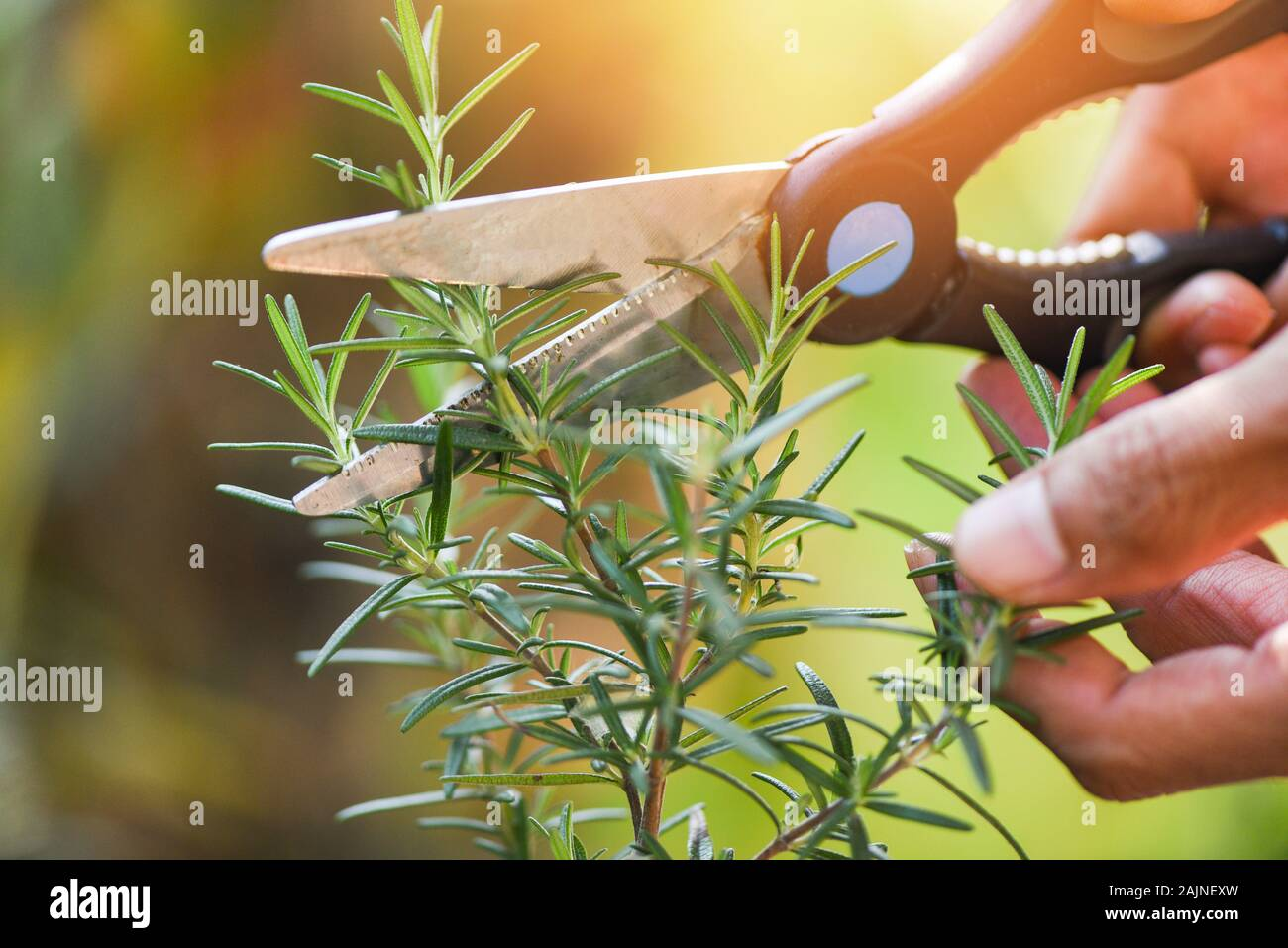 Cut Rosemary Plant Growing In The Garden For Extracts Essential