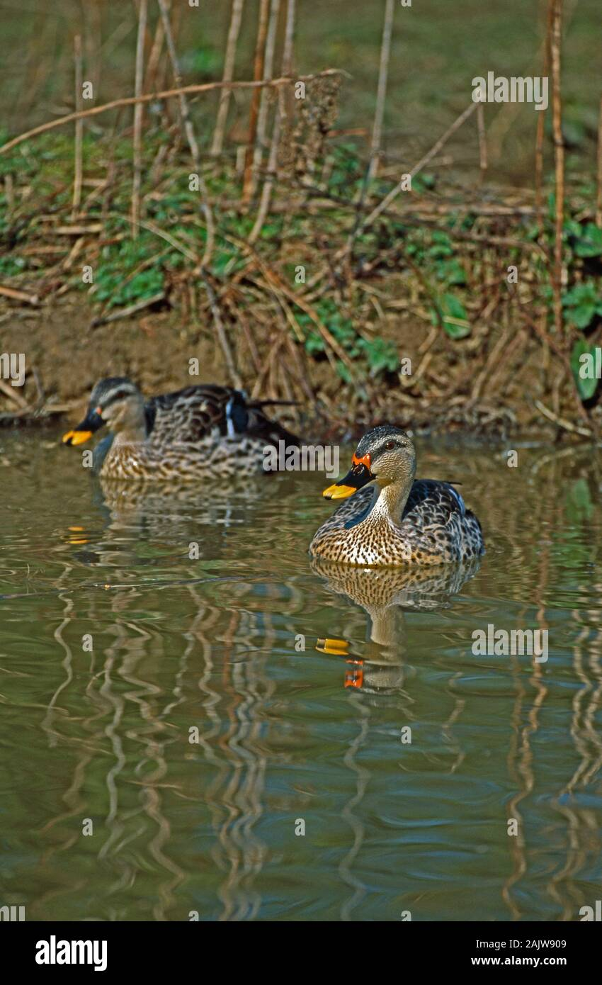 INDIAN SPOTBILL DUCK  pair on water swimming .(Anas platyrhynchos poecilorhyncha), drake on the right with brighter red to cere base of bill. Stock Photo