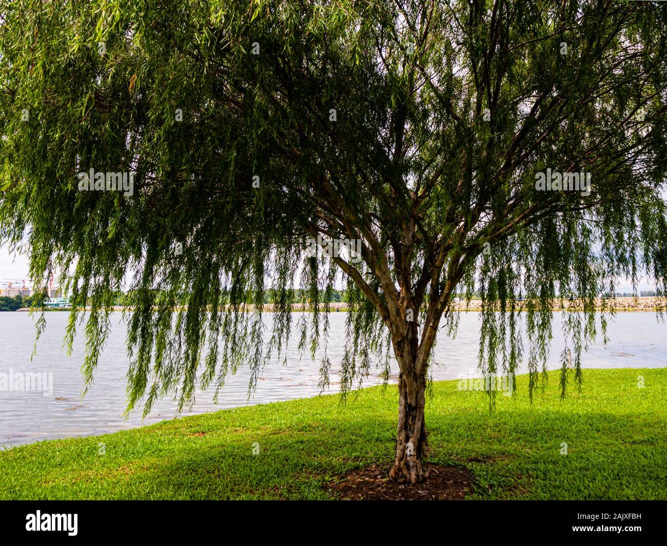 Close Up Of A Large Willow Weeping Willow Tree By The Water In A Nature Park In Yishun Singapore On A Sunny Day Stock Photo Alamy