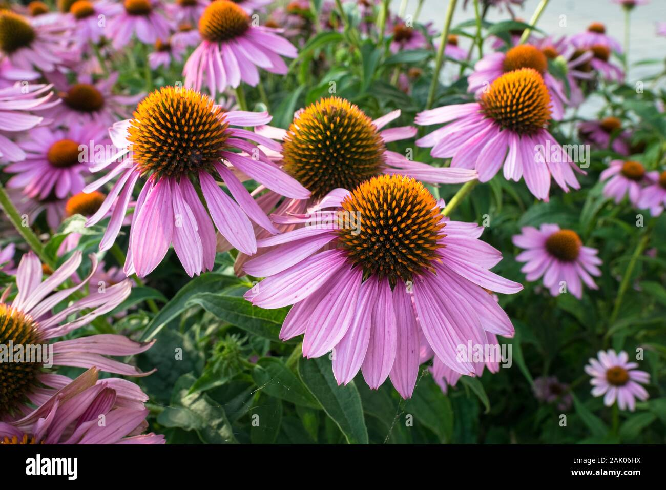 Colorful Echinacea flowers in a park Stock Photo