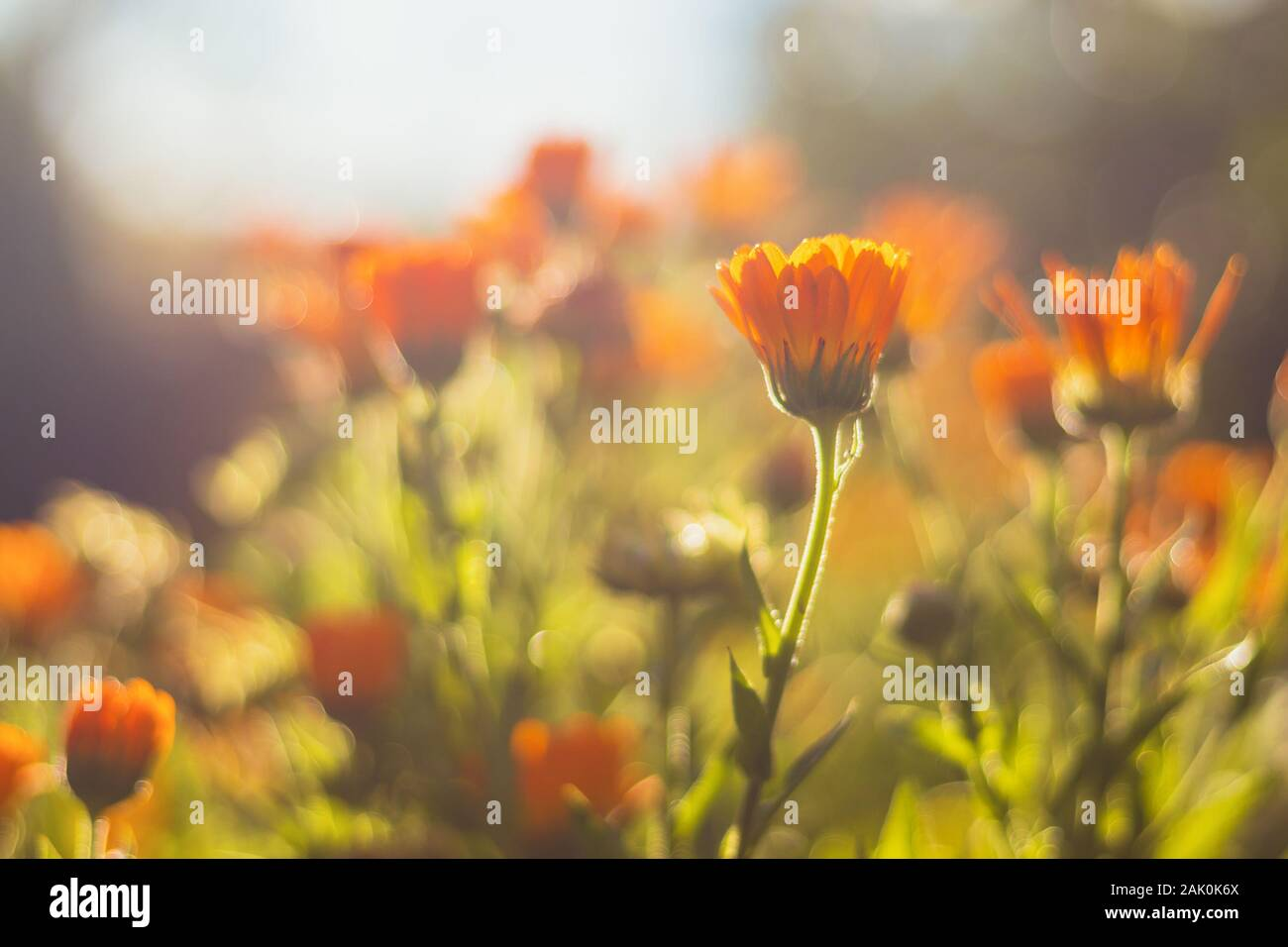 Marigold - beautiful orange flowers, in the garden, close up view, bright sunny day, blurred background Stock Photo