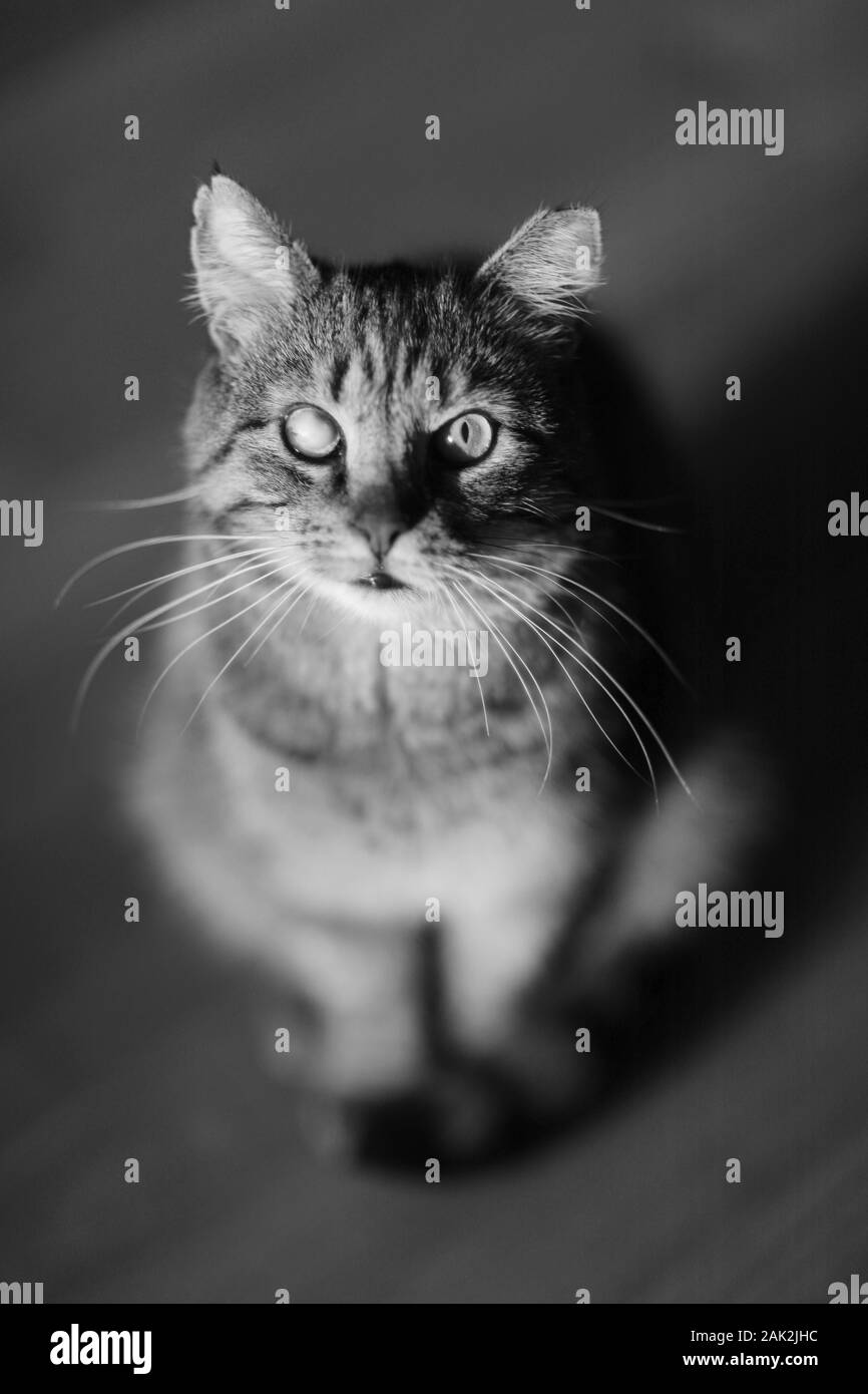 Adult cat with a sickly eye color tabby sits on the floor Stock Photo
