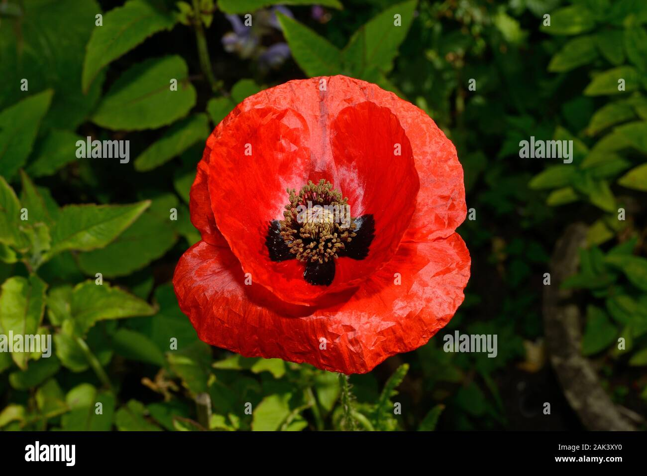 Papaver hybridum (rough poppy) has a submediterranean-subatlantic distribution and commonly occurs in arable crops and other disturbed habitats. Stock Photo