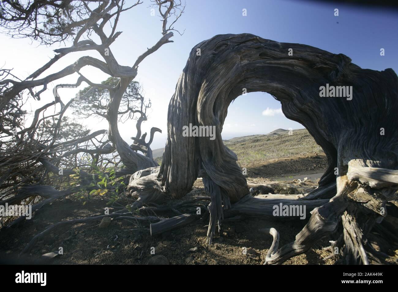 knorriger Wacholderbaum in der Nähe von El Sabinar, El Hierro, Spanien   usage worldwide Stock Photo