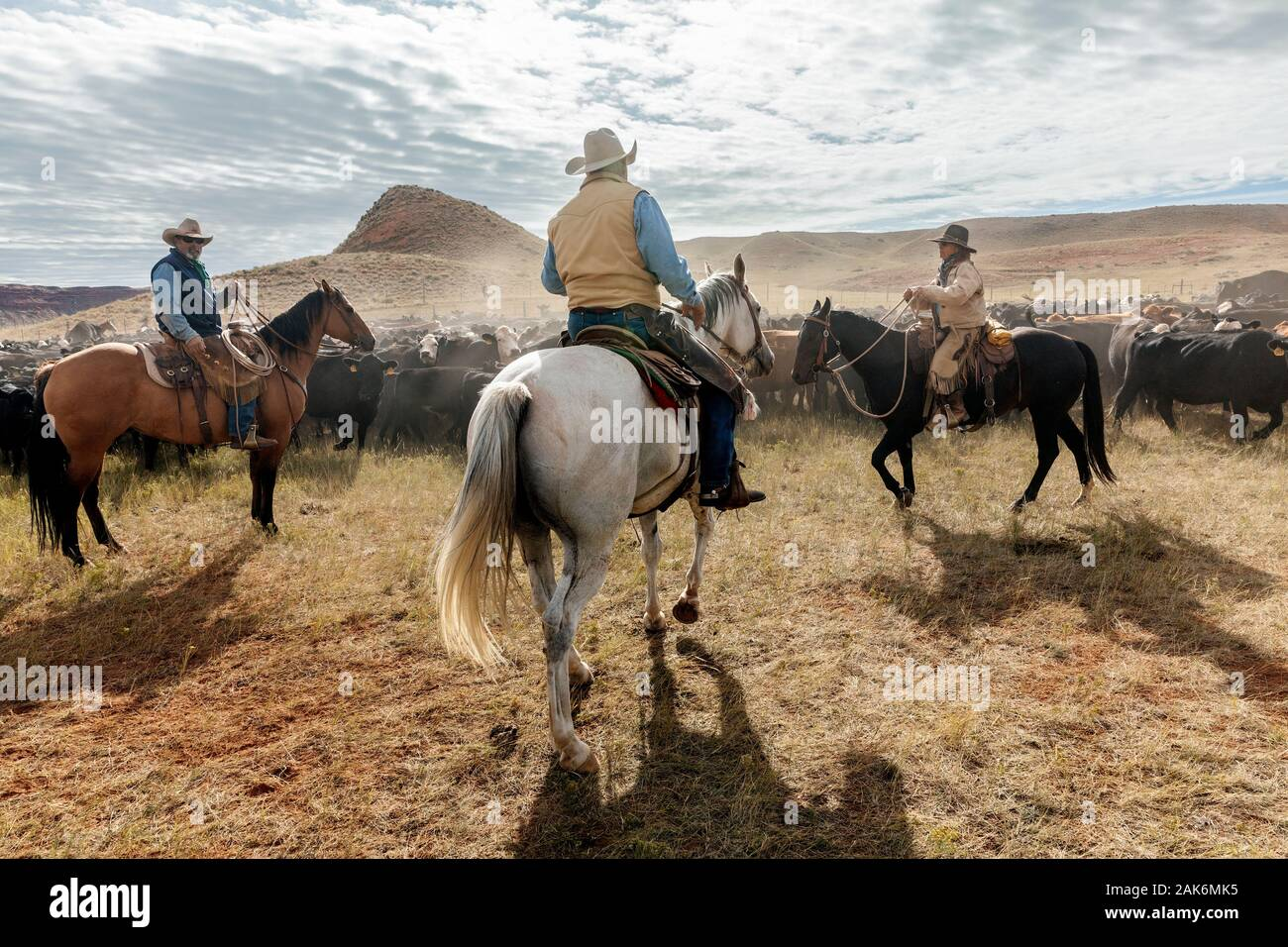 WY04135-00...WYOMING - Cowboys and Cowgirl at a cattle round  up on the Willow Creek Ranch. Stock Photo