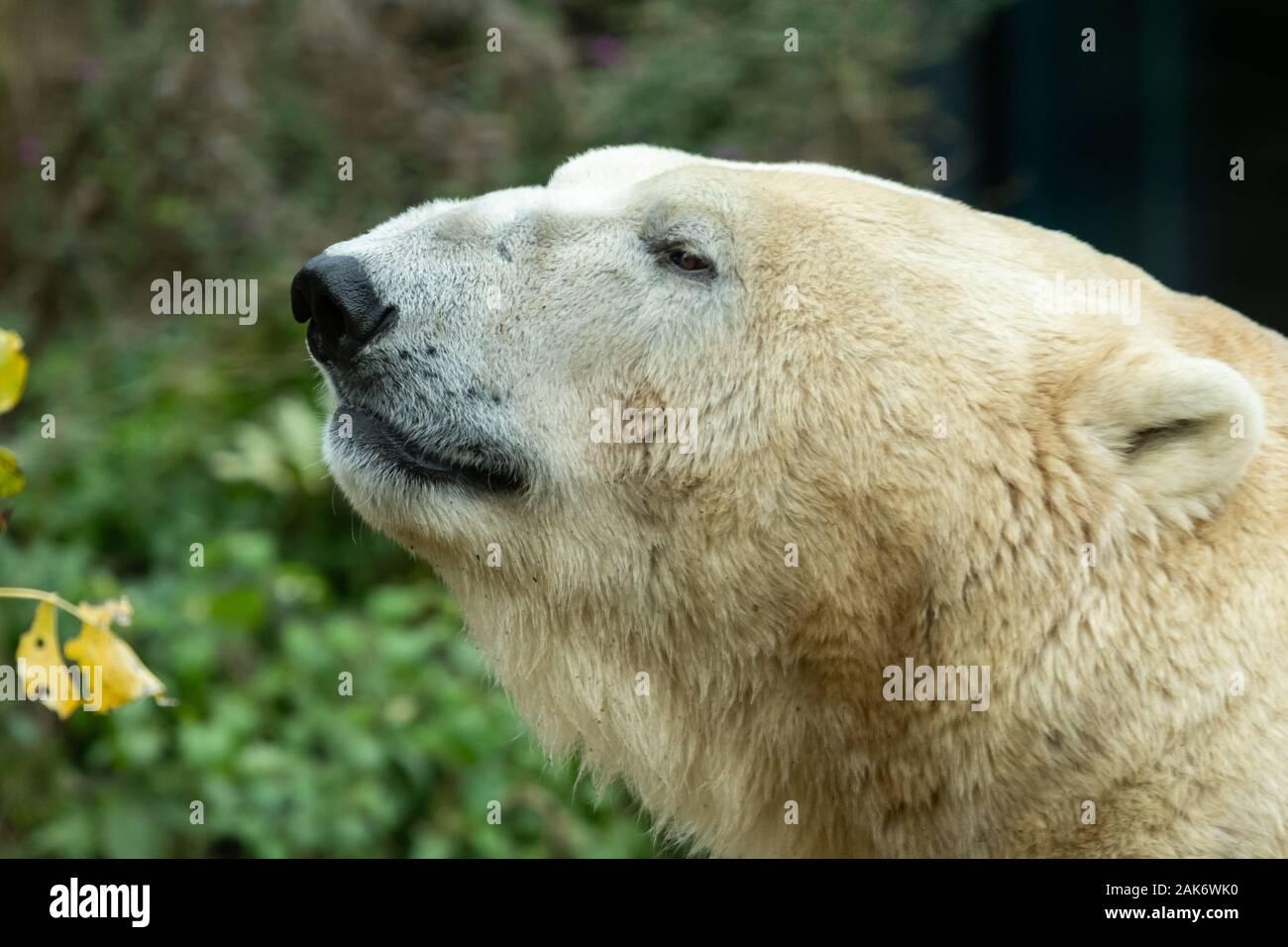 Portrait of a polar bear (Ursus maritimus) in a zoo Stock Photo