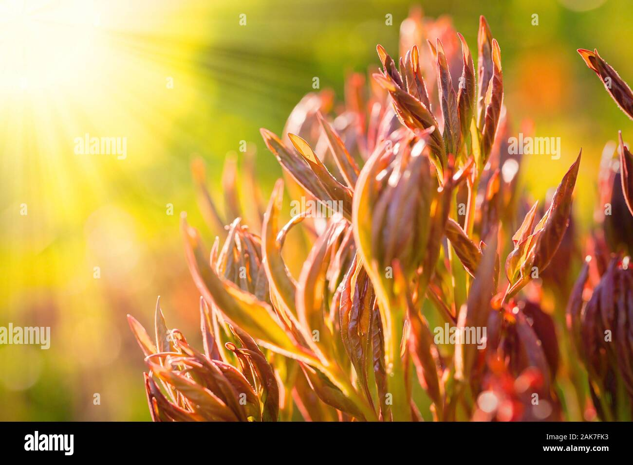 Young peony shoots in early spring, copyspace left Stock Photo