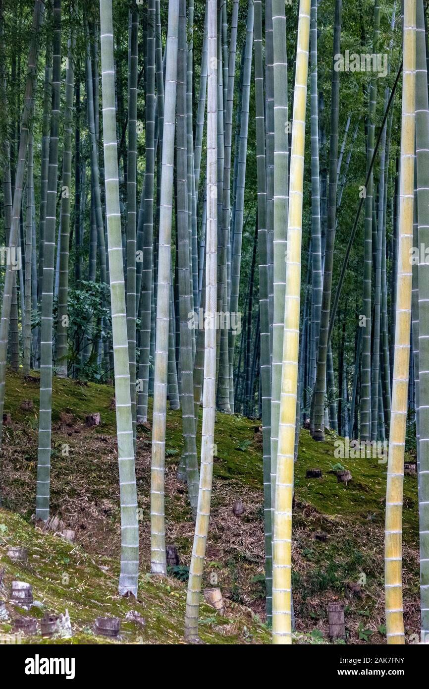 Garden with bamboo forest, originally created by Musō Soseki, of the Tenryū-ji Zen Buddhist temple, Kyoto, Japan Stock Photo