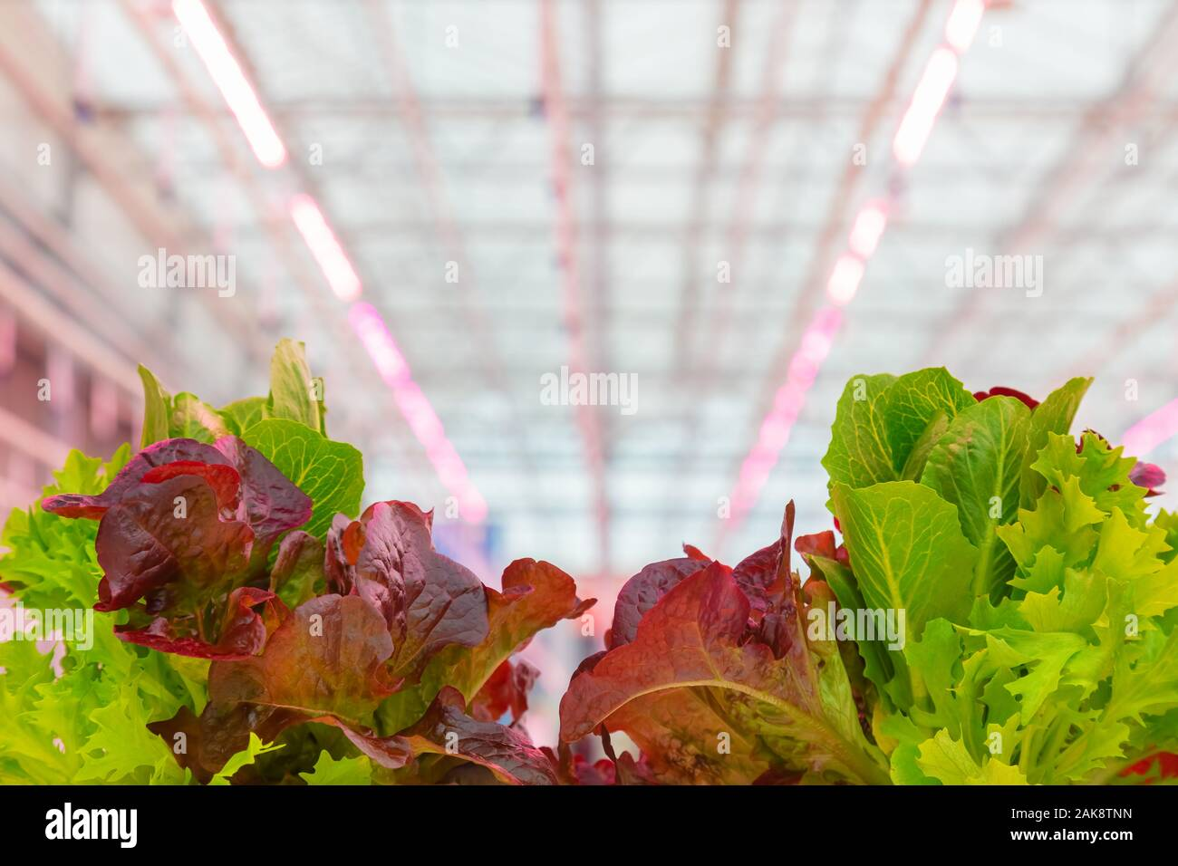 Professional growth of lettuce with pink led lighting in a Dutch greenhouse Stock Photo