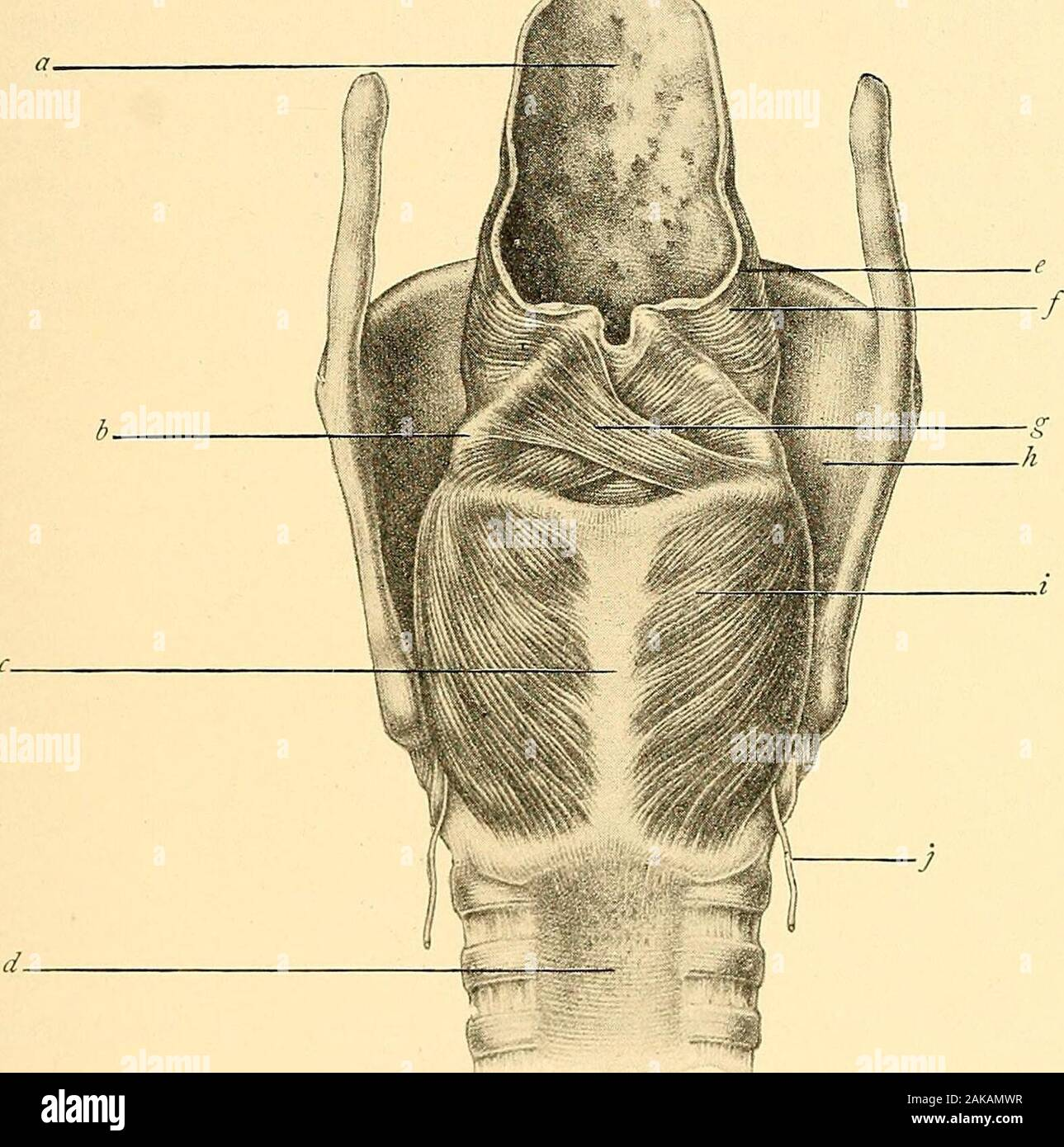Diseases Of The Nose And Throat Larynx Lateral View Deaver A