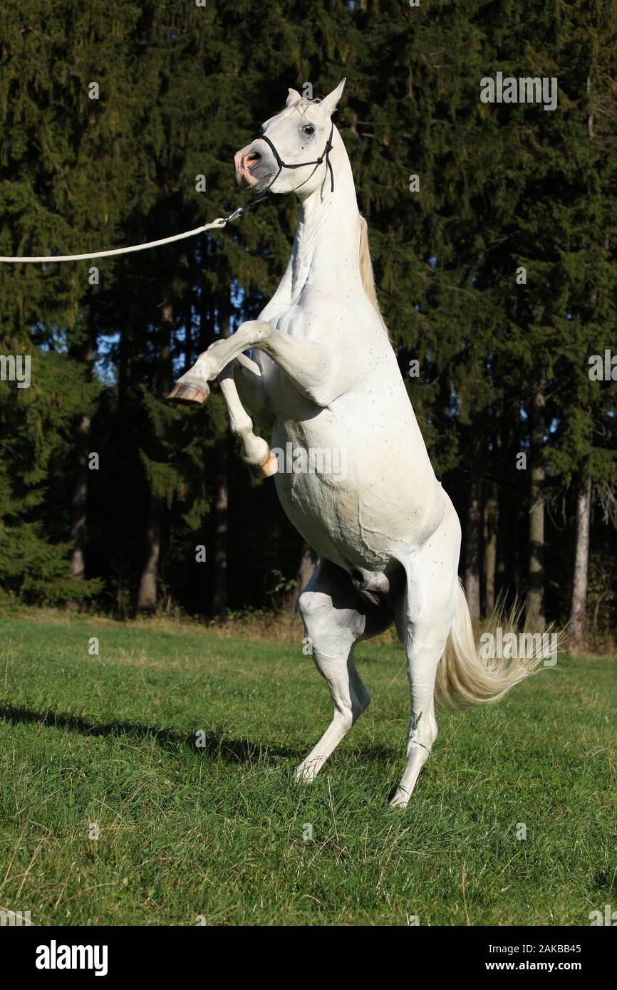 Beautiful White Arabian Stallion Prancing In Nature Stock Photo Alamy
