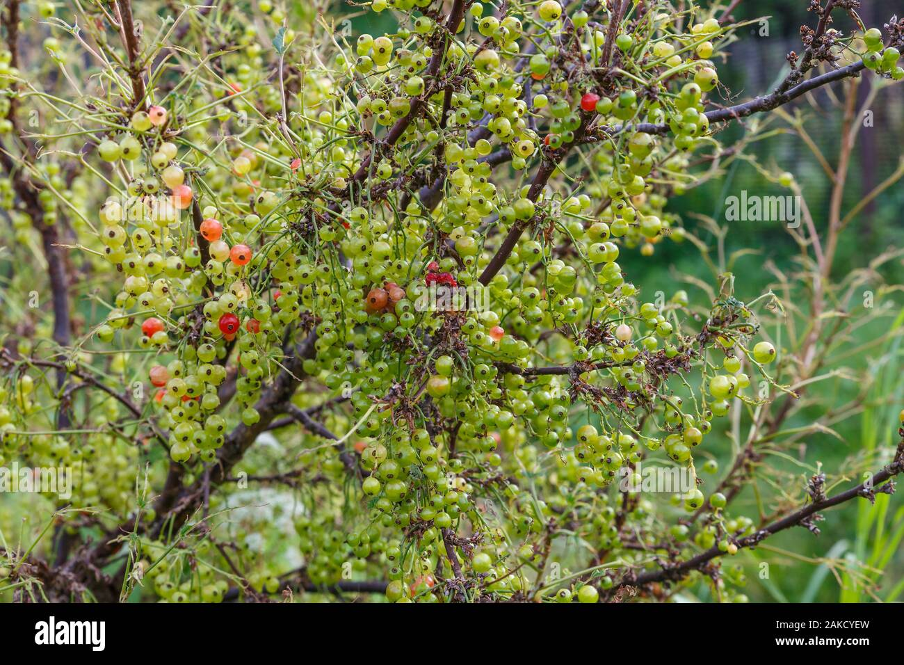 unripe currant berries on a branch on a bush, redcurrant Stock Photo
