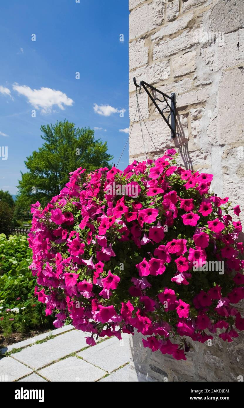 Hanging Flower Basket On Stone Wall With Cascading Petunia X