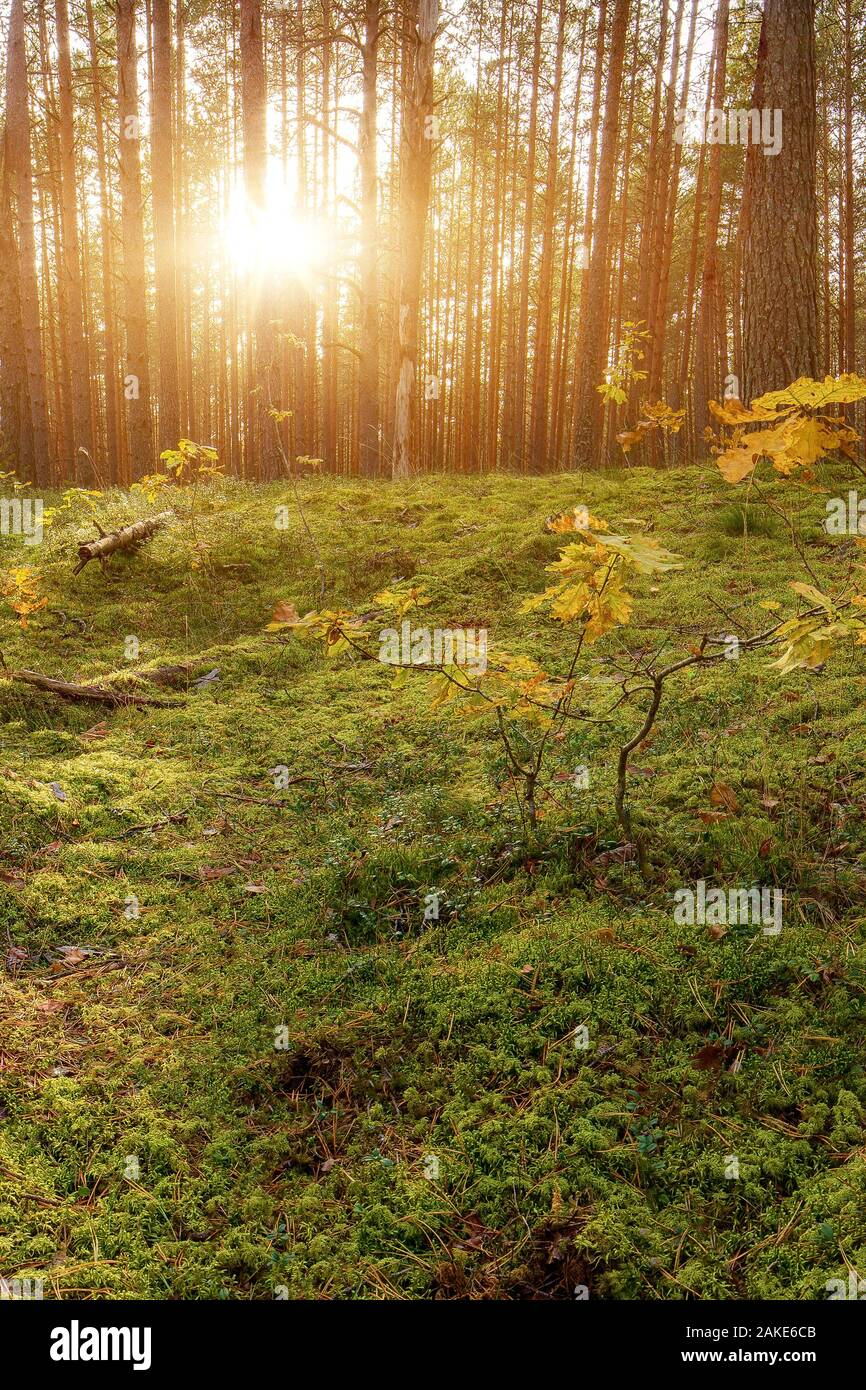 Lovely Sunset Behind The Forrest In Russia. Sunrise In A Forest, Sunbeams Through The Trees Stock Photo