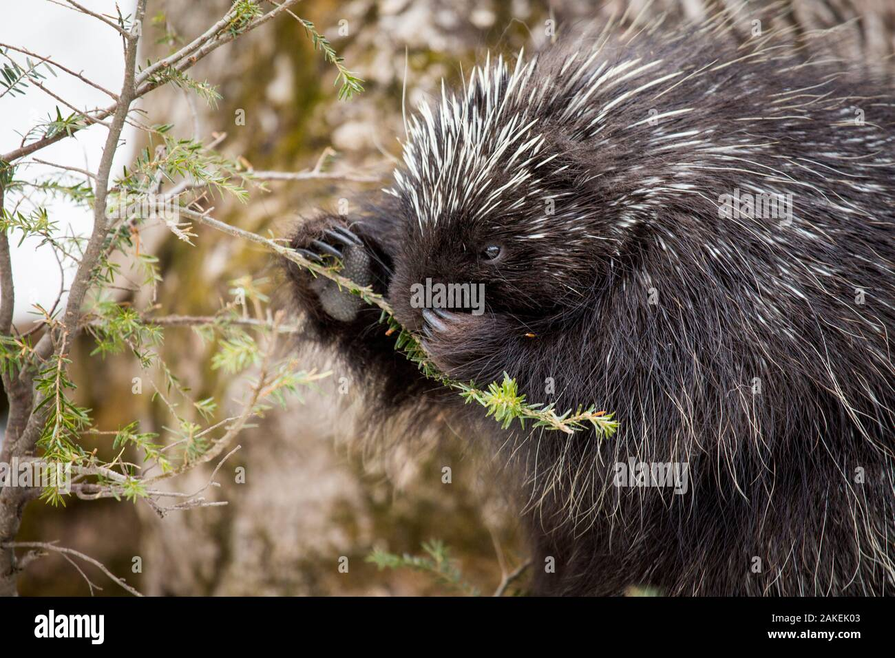 North American porcupine (Erethizon dorsatum), feeding on a young spruce tree. Vermont, USA. (Habituated rescued individual returned to the wild) Stock Photo